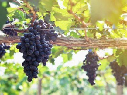 Вирощування винограду: догляд від А до Я