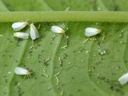 Шкідники огірків: знищуємо білокрилку, трипси, попелицю
