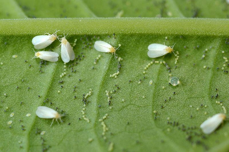 Вредители огурцов: уничтожаем белокрылку, трипсы, тлю