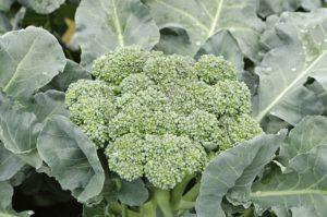 види капусти - броколі