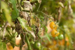 ознаки хвороби помідорів