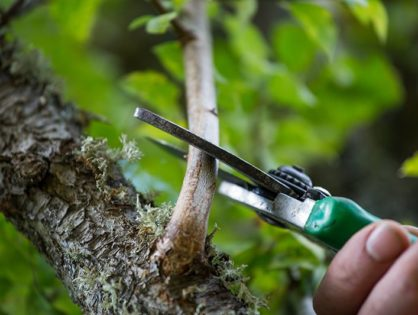 Как правильно обрезать грушу: технология и сроки