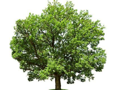 Когда лучше обрезать деревья и зачем формировать крону
