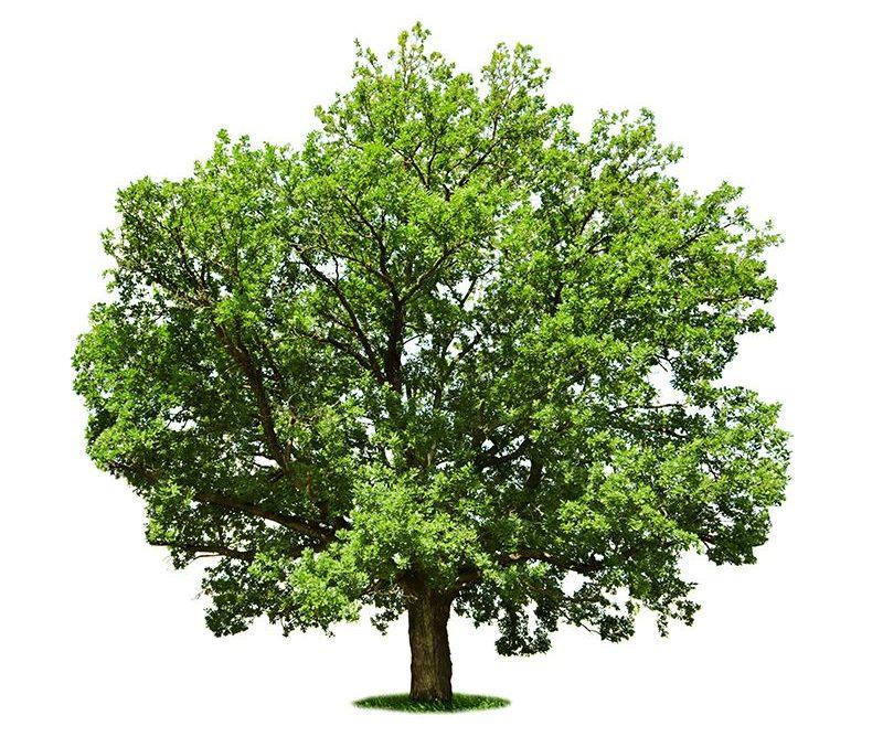 Обрізка дерев у саду: навіщо формувати крону