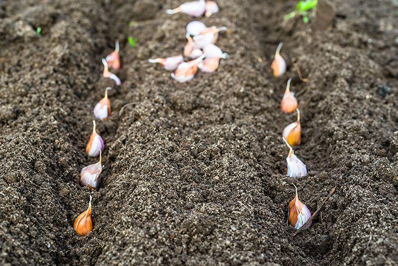 Як та після чого садити часник