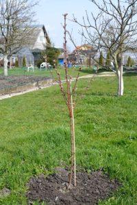 посадка персика весной