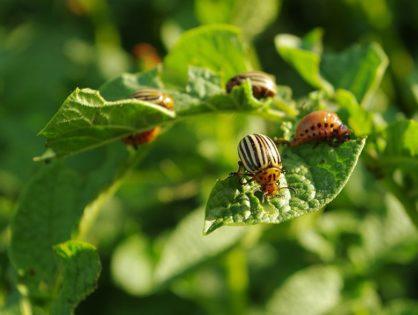 Колорадский жук: как избавиться от вредителей на огороде