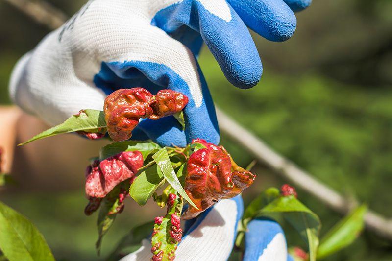 Кучерявість персика – як зарадити лиху?