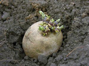 обробка картоплі перед посадкою