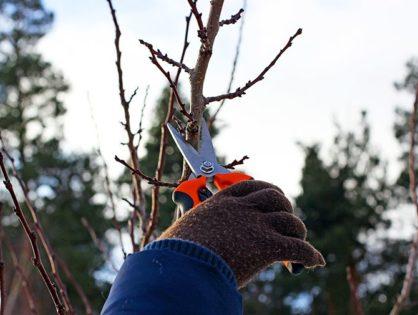 Обрізка абрикоса двічі на рік: навіщо обрізати навесні та восени
