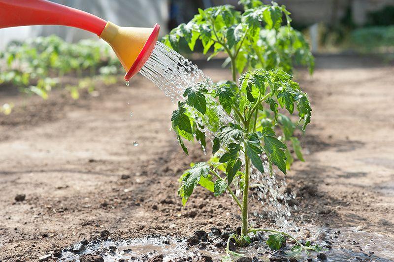 Секреты выращивания томатов и ухода за ними
