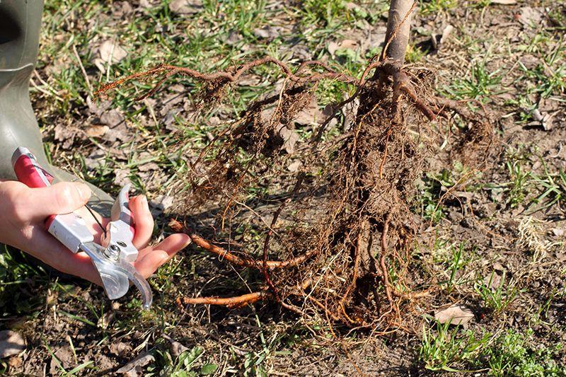 Сажать плодовые деревья весной 811