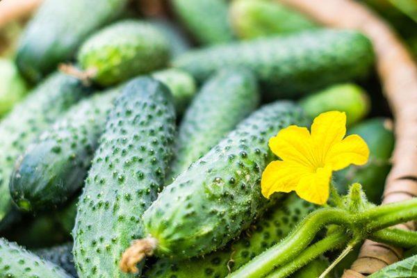 Посадка огірків: маленькі секрети для раннього врожаю