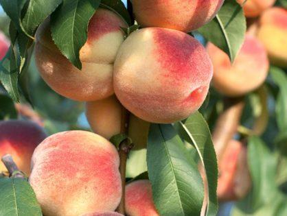 Посадка персика осенью и весной