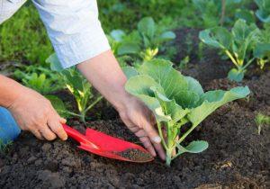 вирощування розсади капусти
