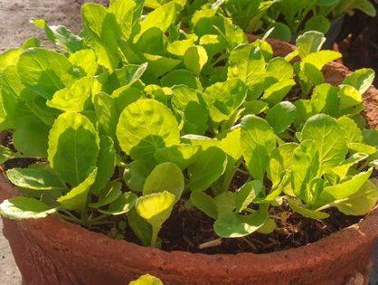 Розсада капусти: від посіву до посадки у відкритий ґрунт