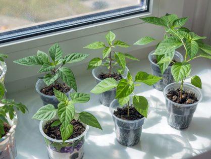 Выращивание рассады перца дома: правила посева и ухода