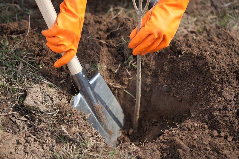 Посадка плодовых деревьев весной и осенью – пошаговая инструкция