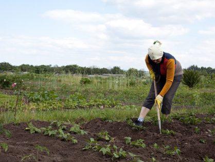 Гербициды для картофеля: как вывести сорняки без ущерба для овощей