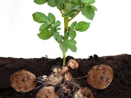 Стимулятор роста картофеля: заботимся о любимом овоще