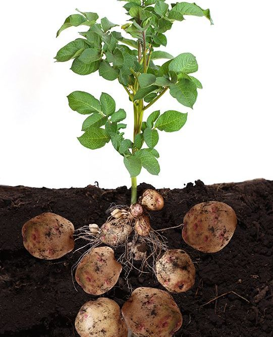 Стимулятор росту картоплі: дбаємо про улюблений овоч