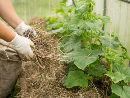 Как выращивать огурцы: секреты ухода