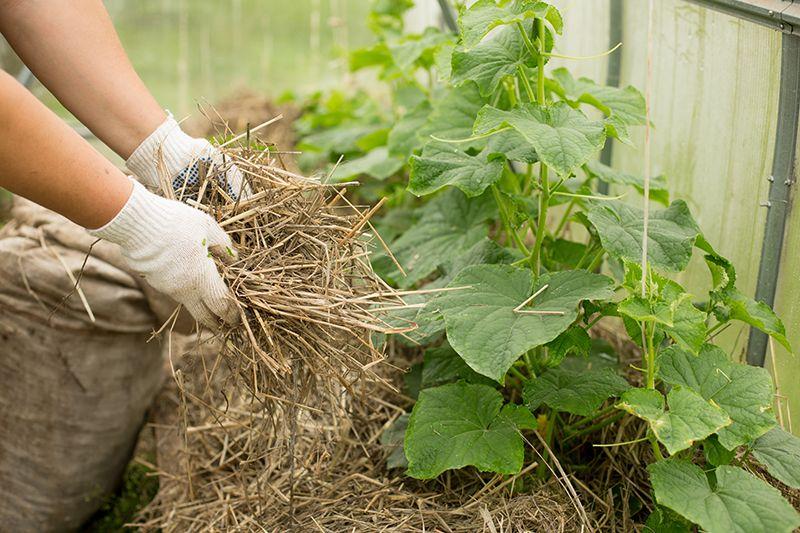 Як вирощувати огірки: секрети догляду