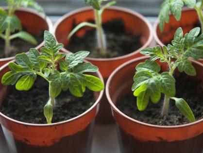 Рассада помидоров: выращивание от посева до пересадки в грунт