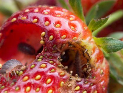 Шкідники полуниці: як боротися із хрущами та довгоносиками