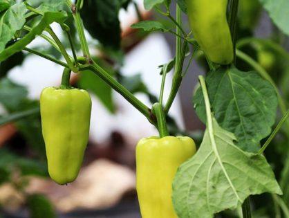 Перец болгарский: выращивание и уход