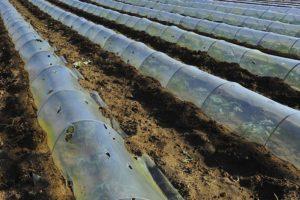 вирощування кавунів під плівкою
