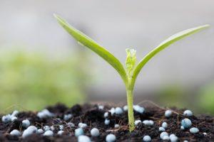 вирощування розсади: підживлення