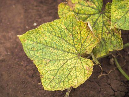 Чому жовтіє листя та зав'язі огірків: найпоширеніші причини