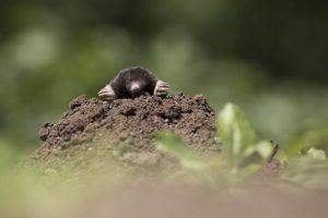 як знищити щурів та кротів