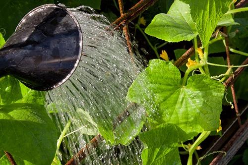 Полив огурцов: как напоить самых больших водохлебов