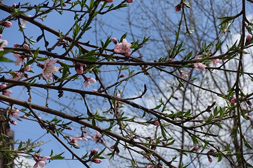 Обработка персика весной от вредителей и болезней