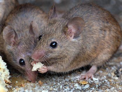 Дератизация: как избавиться от мышей и крыс