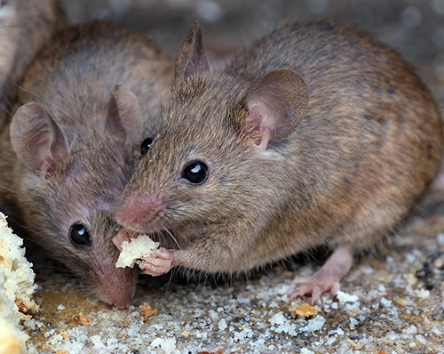 Дератизація: як позбавитися від мишей та щурів