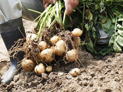 Выращивание картофеля: как получить большой ранний урожай