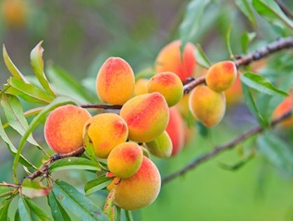 Как ухаживать за персиком: советы садоводам