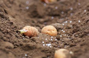 підживлення під час вирощування картоплі
