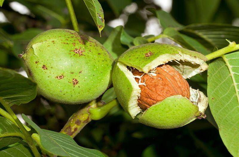Вирощування горіхів: що треба знати про садових гігантів