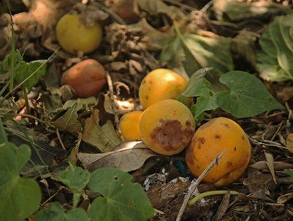 Болезни абрикоса и их лечение