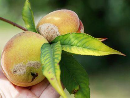Болезни персика: как распознать и чем обрабатывать