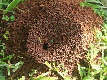Как избавиться от муравьев: на огороде, дома, в саду