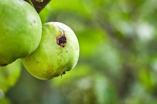 Вредители яблони: борьба за урожай