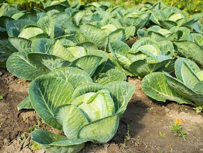 Вирощування капусти: від звичайної білоголової до брюссельської