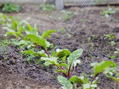 Хвороби буряків: як врятувати коренеплоди