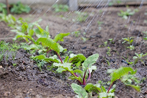 Болезни свеклы: как спасти корнеплоды