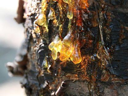 Болезни вишни: от чего дерево сбрасывает листья посреди лета